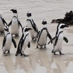 Penguin colony in Betty's Bay only a few mintues' drive from Dreams Holiday Accommodation
